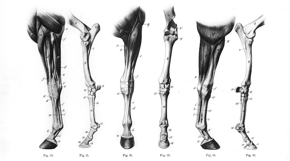 The anatomy of a horse's leg. Image from here.