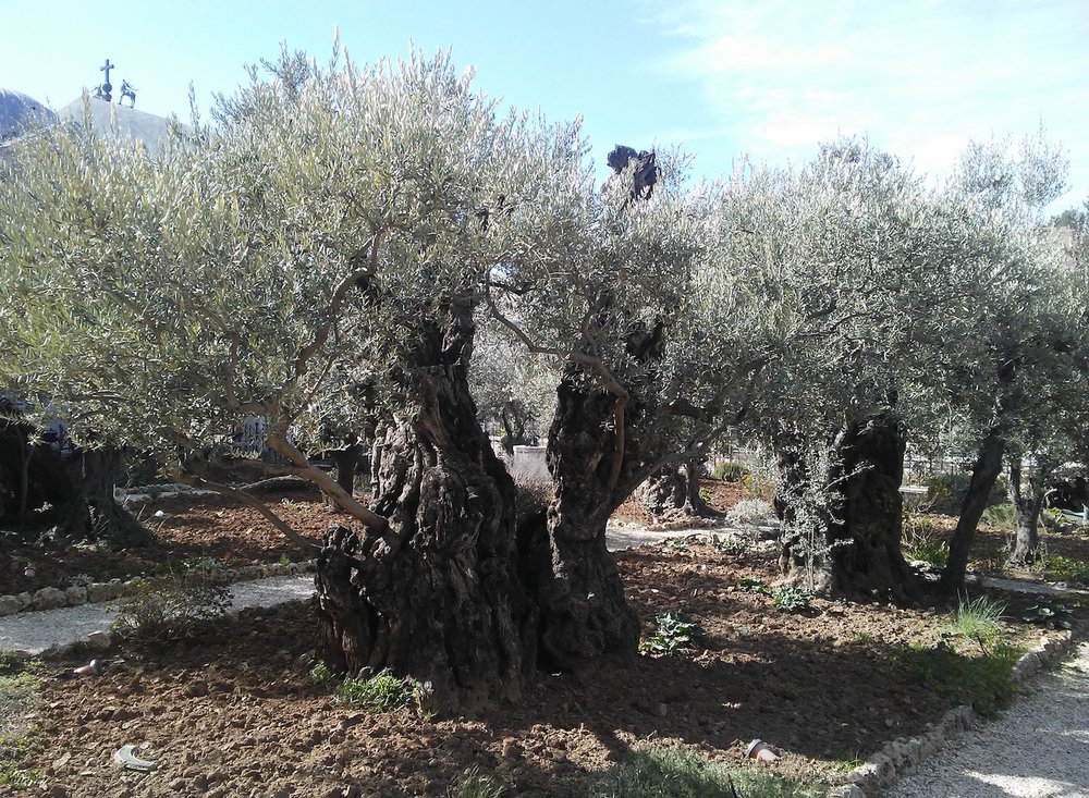 Olive trees in the garden. Image by Robert Moses.