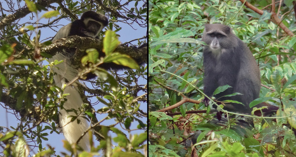 "Monkeys of Kilimanjaro. On the left, a Colobus abyssinicus with bold colors and an enviable tail. On the right, a sad faced Cercopithecus mitis. Maybe he is sad because he is nicknamed a ""blue monkey"" but is almost always grey! We caught sight of several of the former on the ascent. We encountered this rain-soaked fellow on the descent.The first time I heard the monkeys of Kilimanjaro I thought it was a motorcycle. You might call me a naturalist. Then again, you might not."