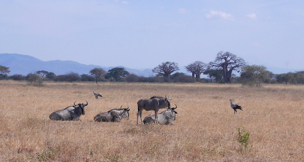 Wildebeests (or gnus) lounge in the sun. Nearby are two large secretarybirds, a long-legged raptor that feeds mostly on snakes. Note the iconic outline of the baobab trees in the distance.