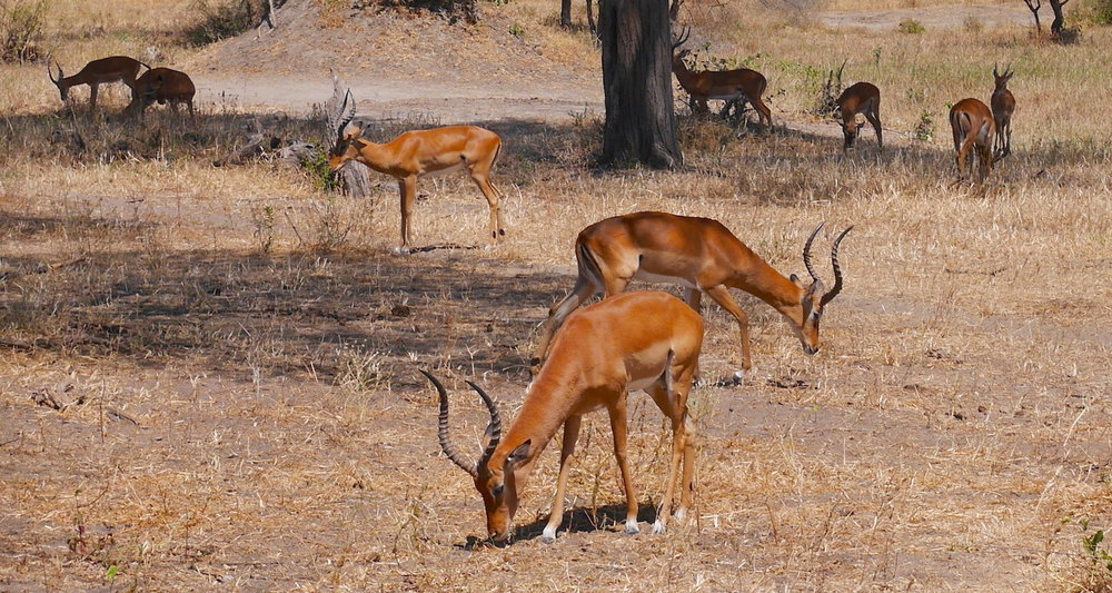 Impalas grazing.They are a graceful mid-sized member of the antelope family.