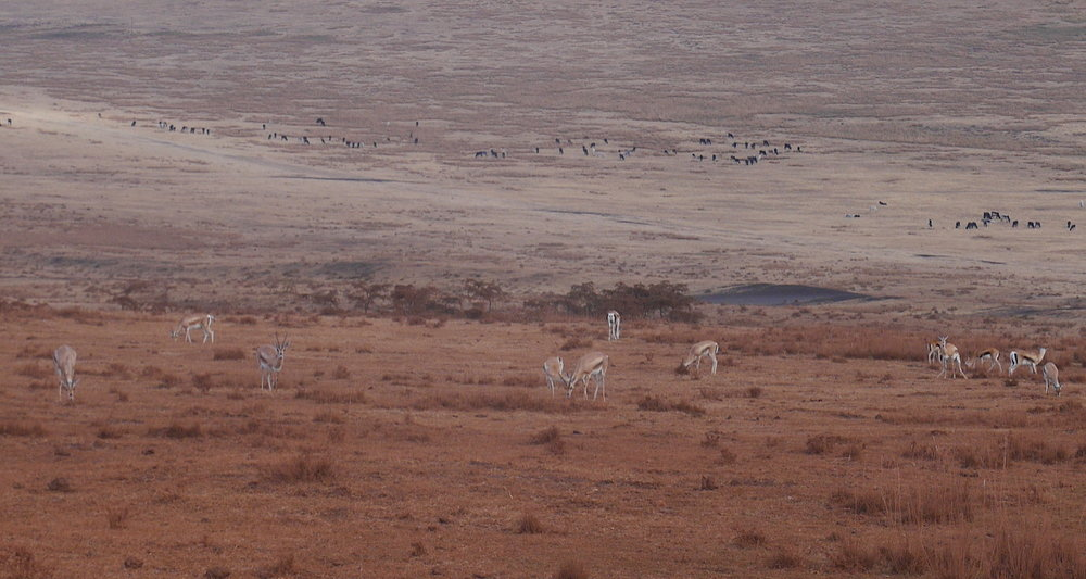 "We spotted a herd of ""Tommies"" or Thompson's Gazelle (Eudorcas thomsonii) on a hillside on the way to the park. A herd of Maasai cattle are seen in the distance. The distinctive black and white sidebars of a ""Tommie"" make them an easy identification. Able to reach and exceed speeds of 50 mph, this gazelle is one of the fastest animals on the planet."