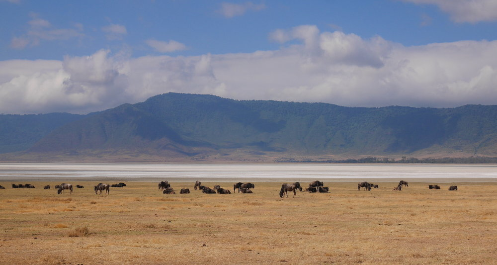 We pass a herd of wildebeest    (Connochaetes taurinus) grazing on the crater floor. A soda lake (Magadi) lies just beyond.
