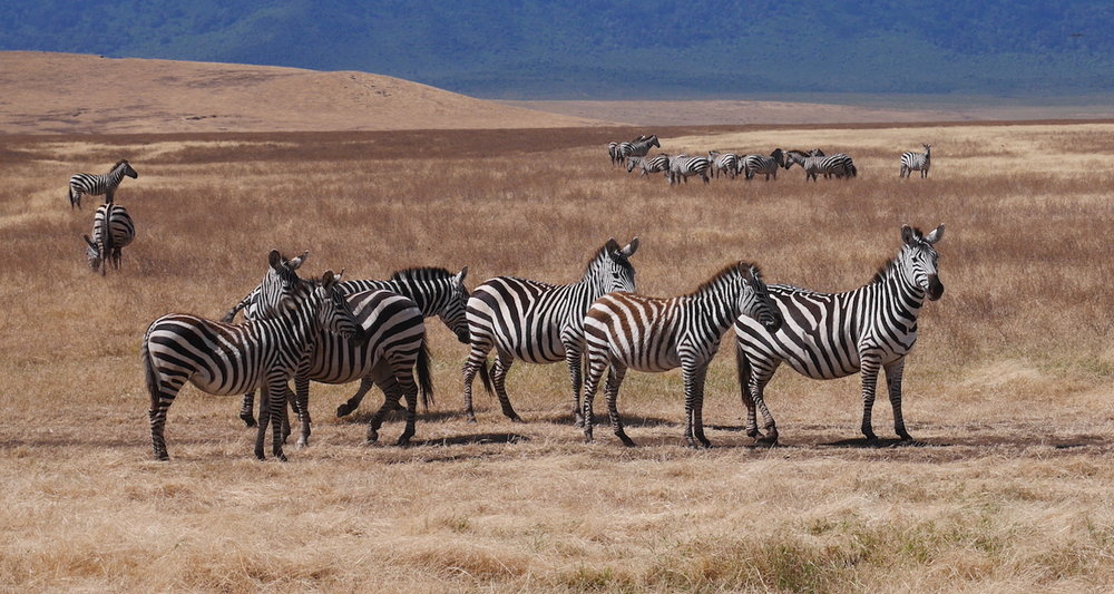 According to Oates and Rees (2012:6), the zebra population in the crater dipped dramatically in the 1970s. It rose slightly in the decades that followed and has been stable since 2005.