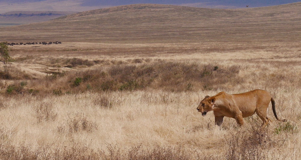 The lioness slowly passed our rig.