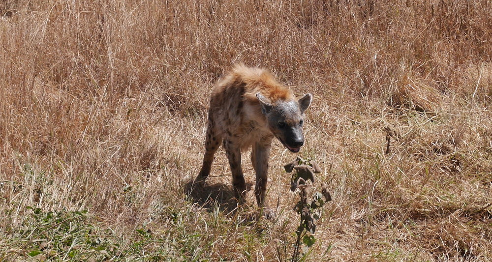 This hyena ventured near our truck.