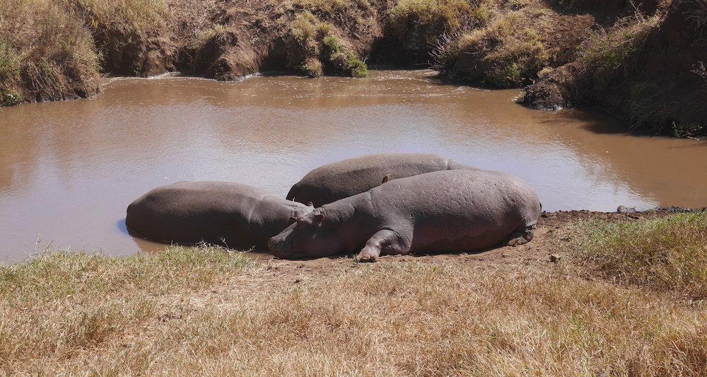 Hippos enjoying the morning air.