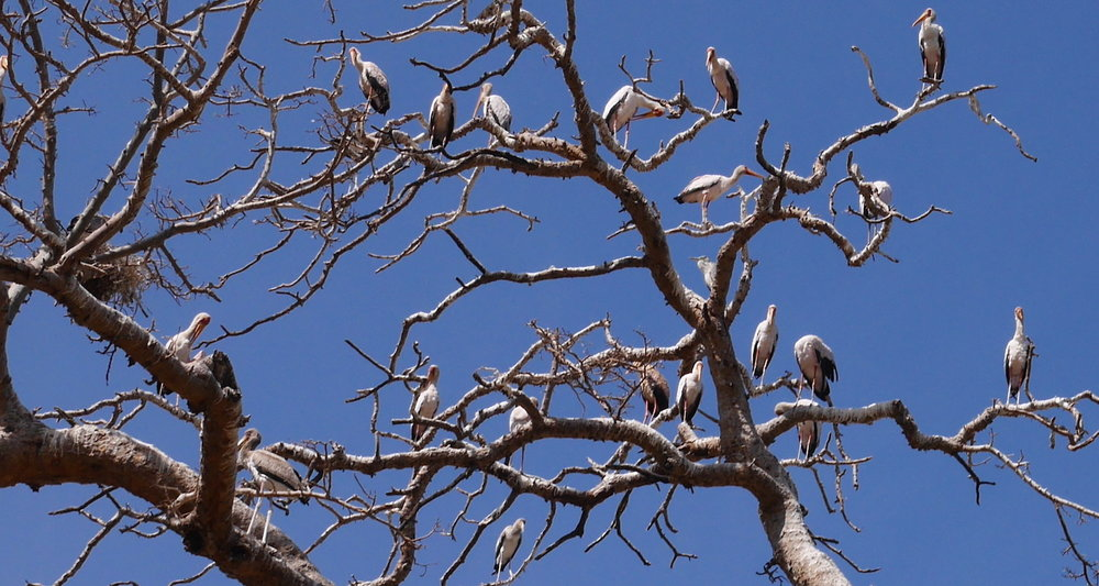 The storks sit on every branch. Note the nest on the left side of the image.