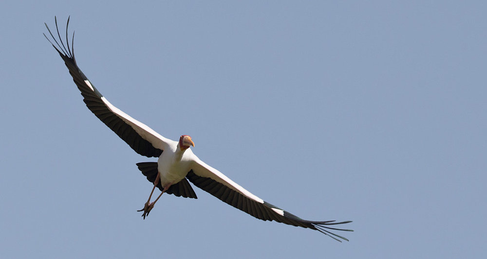This image (as well as the image in the header) of a Yellow-billed Stork in flight was captured by Mathias Putze in Ethiopia. It was originally posted  here  and accessed on 4/12/18.