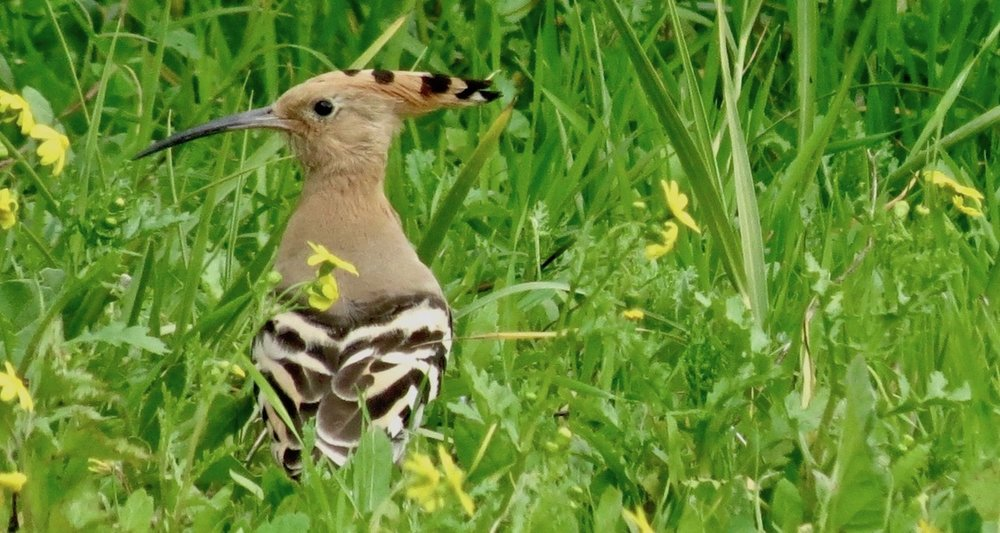 Susan Ruth captured this wonderful image of a hoopoe on the shore of the Sea of Galilee.