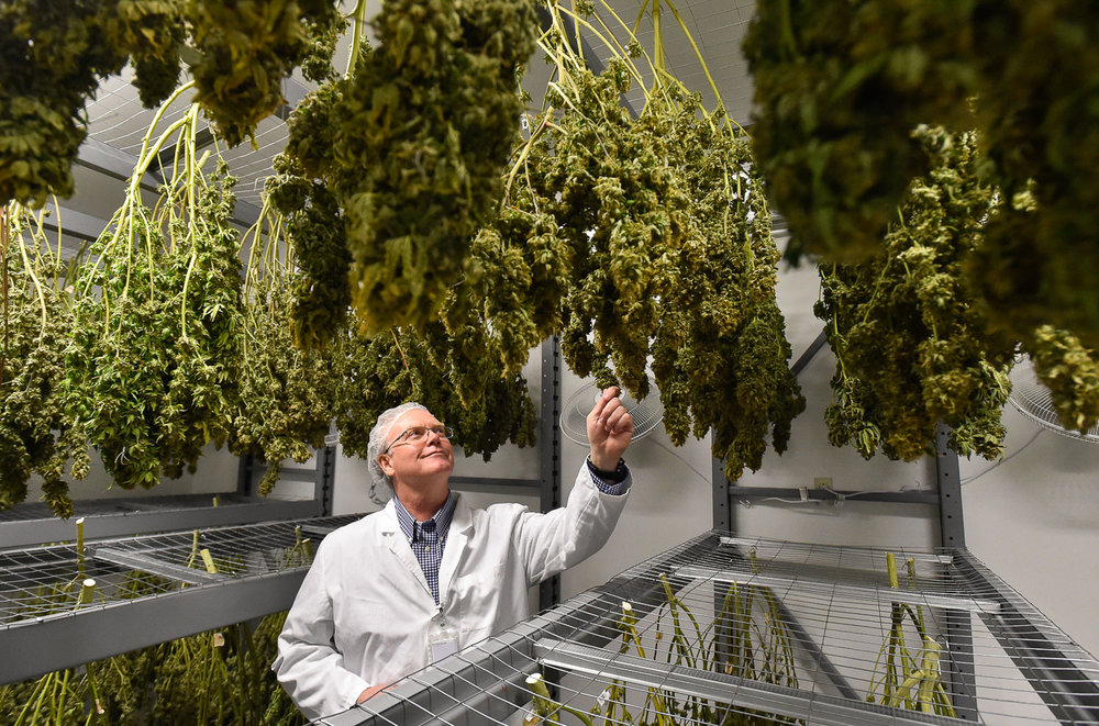 Nikon D4s, 1/125 @ f/5, ISO 5,000, 17-35mm  Nathaniel Averill, executive director and co-owner, views some of the drying cannabis inside their drying room at Healthy Pharms medical marijuana dispensary in Georgetown, Friday, March 24, 2017. [Wicked Local Staff Photo / David Sokol]