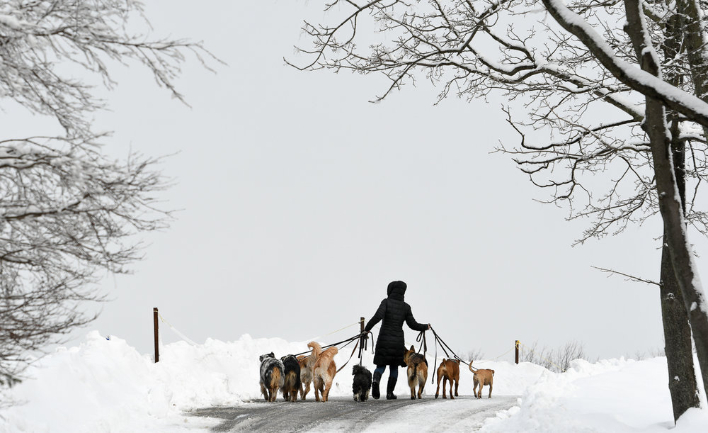 Dog walker and trainer Nicole Maggio walks her clients dogs at the Mount Hood Golf Club, Monday, Feb. 13, 2017. [Wicked Local Staff Photo / David Sokol]