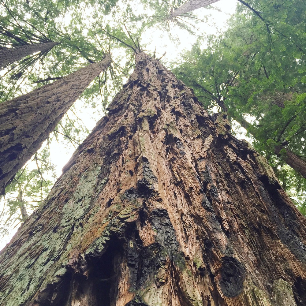 Muir Woods, photo credit Carolyn Stine