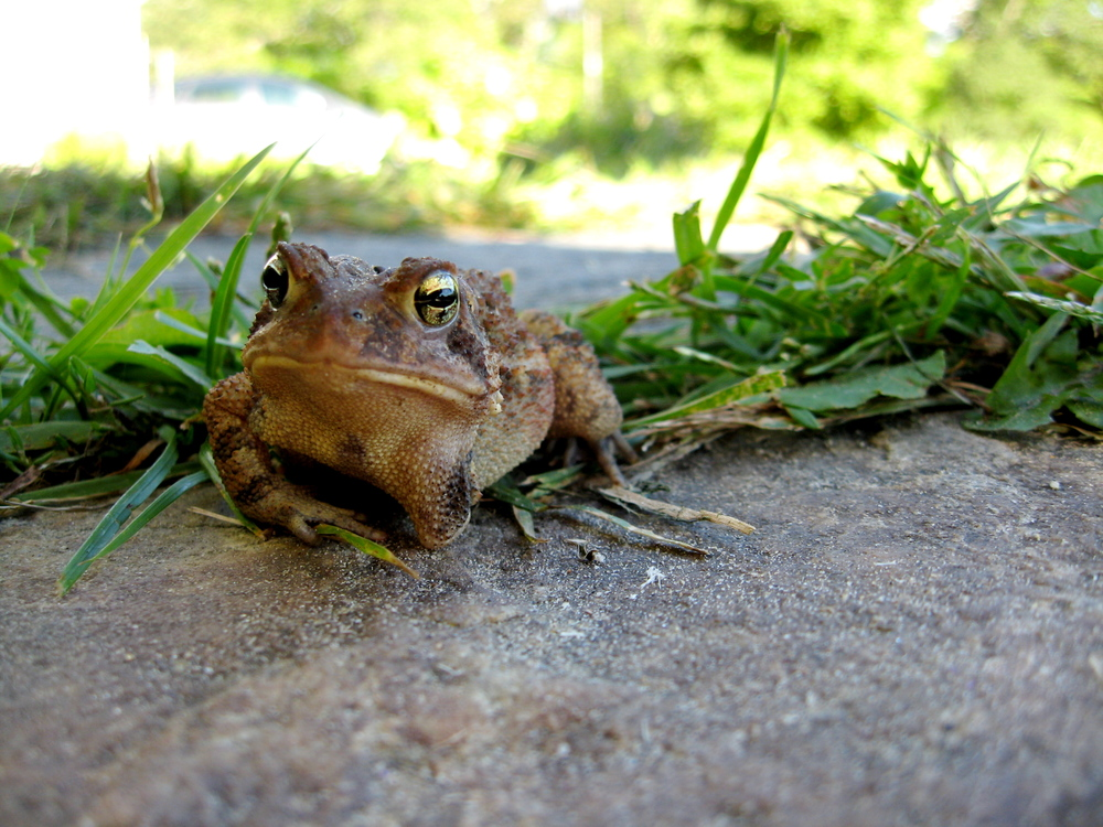 Three-legged toad