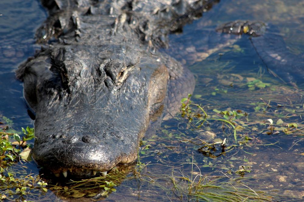 Everglades gator