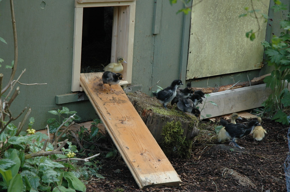 "Gina Louise using Automatic Chicken Coop Door for their Ducks. ""Here's a picture of our gang using the automatic chicken door. Despite their tender age of 2 weeks, the chickens have already learned how to use the door independently. When we manually activate the door, they all troop outside, and the ducklings follow them! Good fun!""  -Gina Louise-"
