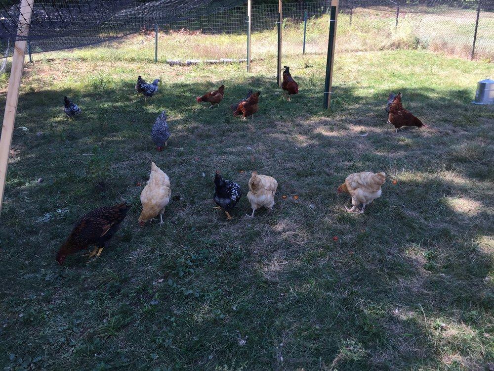 grazing hens.jpg