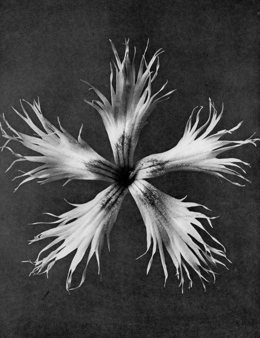 17 - Dianthus Plumarius, Grass Pink - £110 Unframed - Photogravure