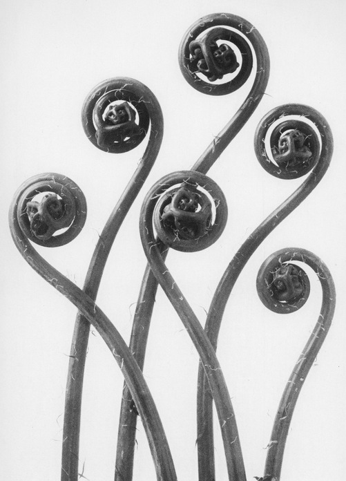 9 - Adiantum Pedatum, Maidenhair Fern, Young Unfurling Fronds- Photogravure