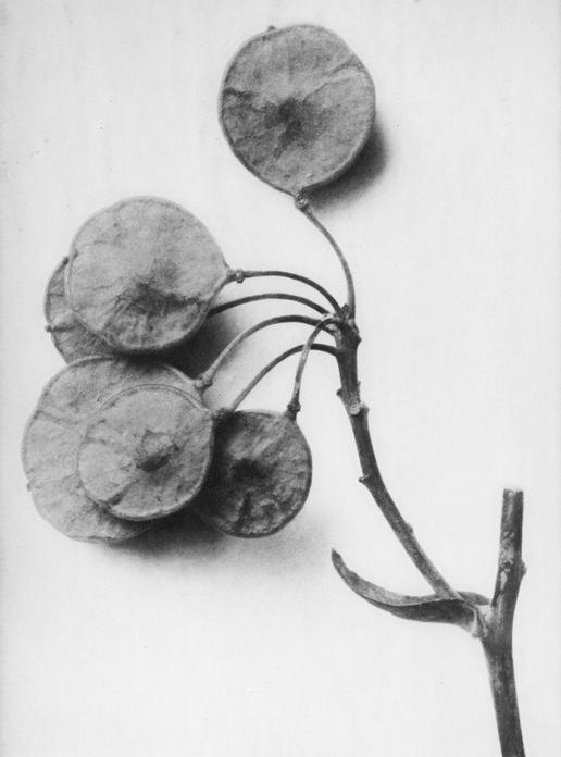 36 - Ptelea Trifoliata  - Photogravure
