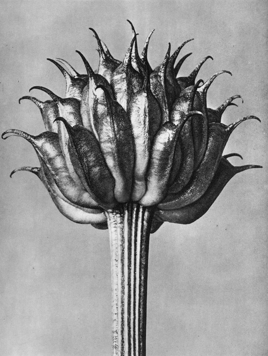 39 - Trollius Ledebourii - $320 Framed, $160 Unframed - Photogravure