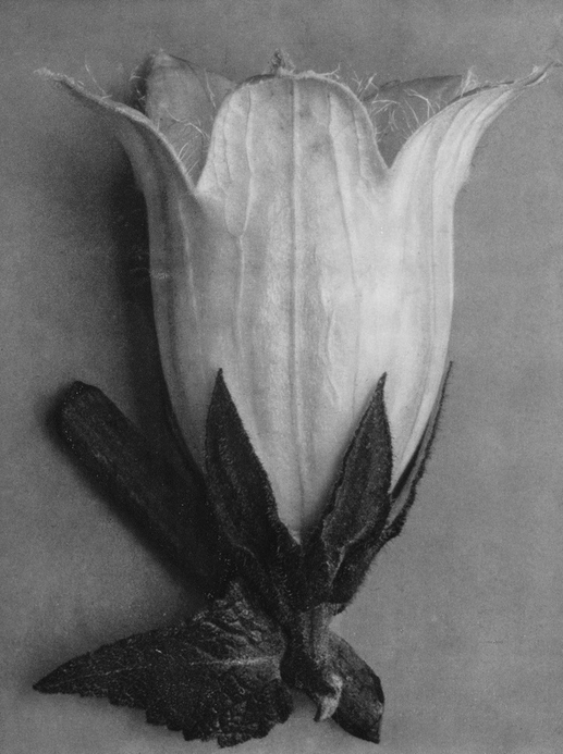45 - Campanula Alliarifolia, Spurred Bellflower, Flower - Photogravure