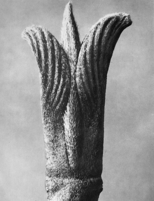 77 - Cornus Pubescens