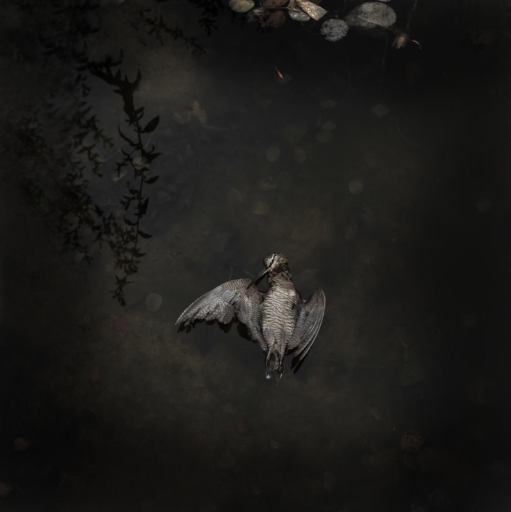 Woodcock #4