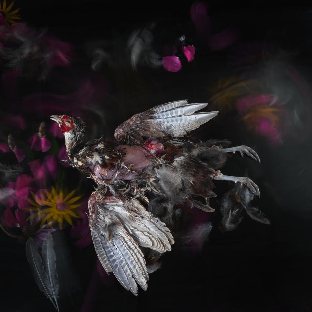 Pheasant #11