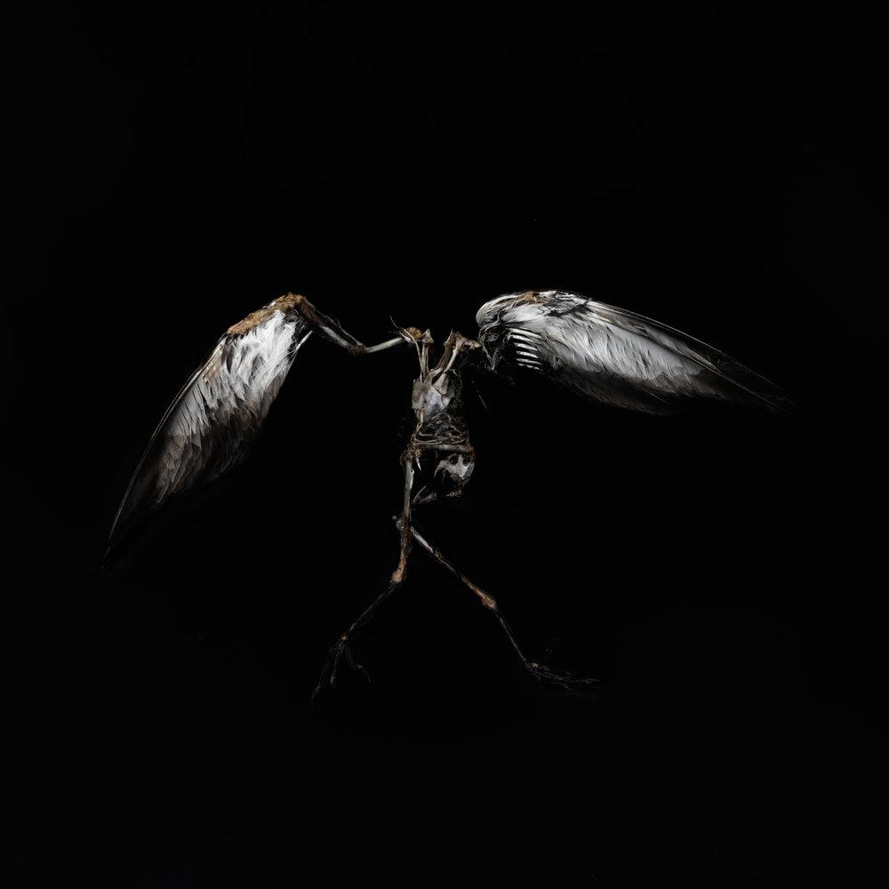 Dancing Bird #3