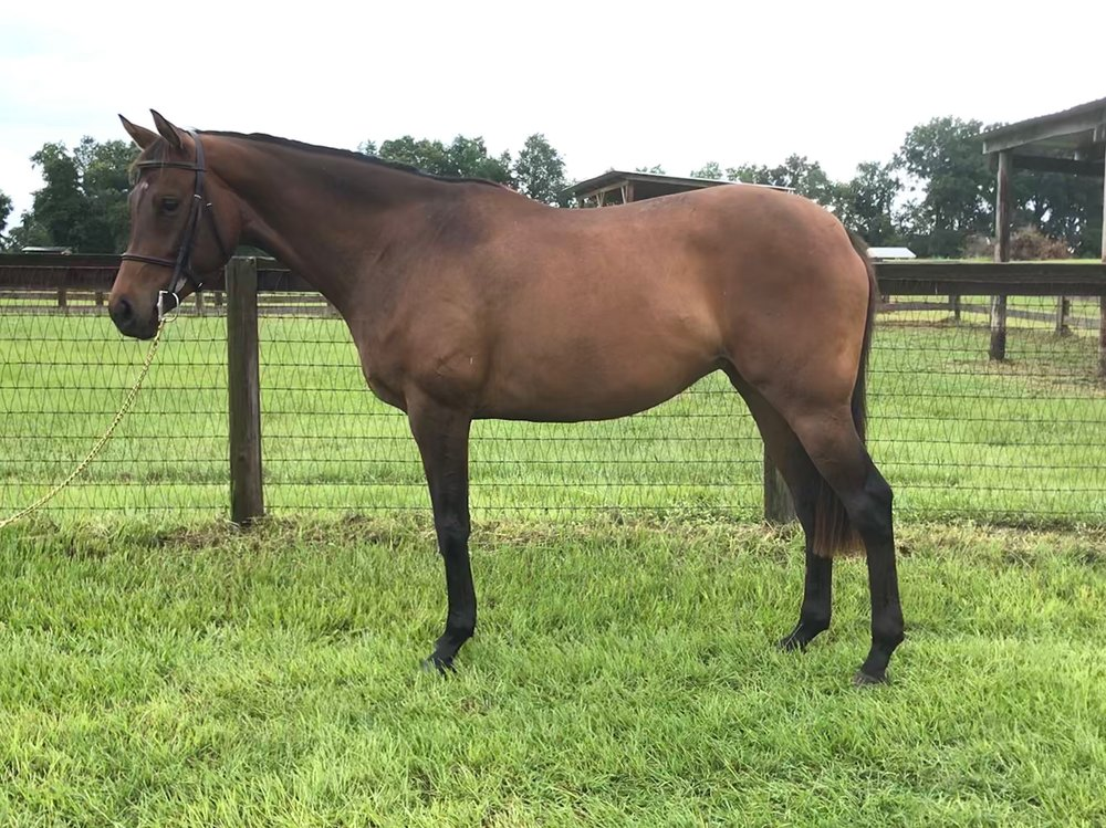 Midnight In Paris - 5yo 15.3h bay Tb Mare. W/T/C. Lead Changes. Trotting small courses. Free jumps Scopey!This young mare is a great all around prospect!