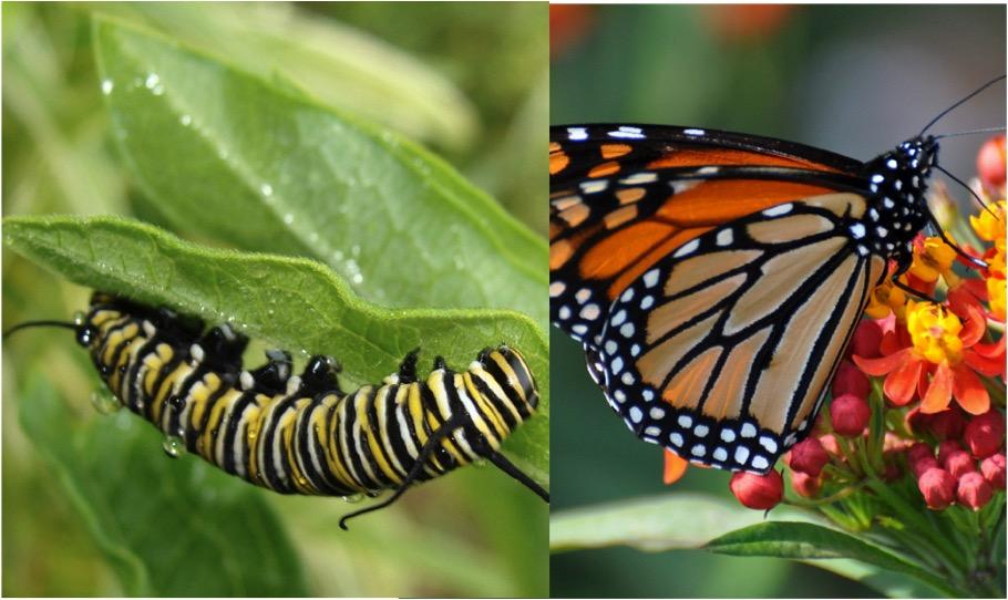 Caterpillar Butterfly.jpg