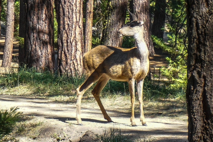 A Black Tailed Deer - Out for a stroll in the Hitching Post Campsites