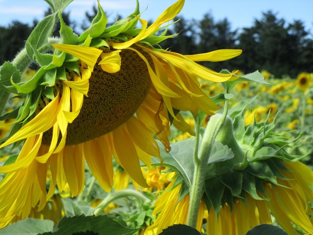 Malen im Sonnenblumenfeld