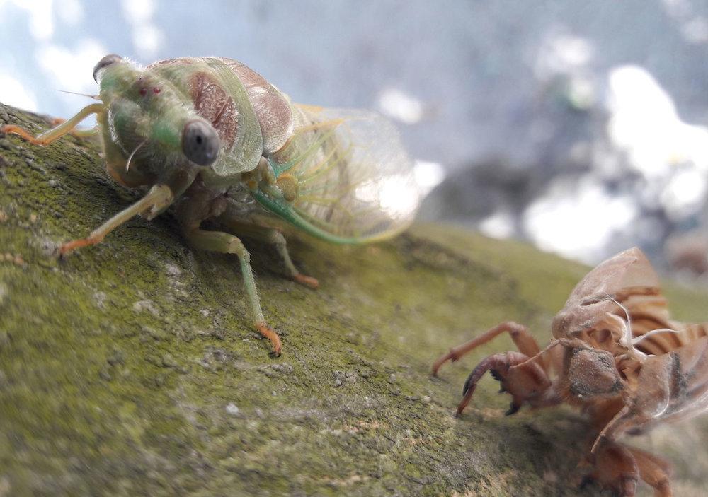 Geburt der Zikade