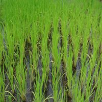 Paddies about a month after rice plants were transplanted