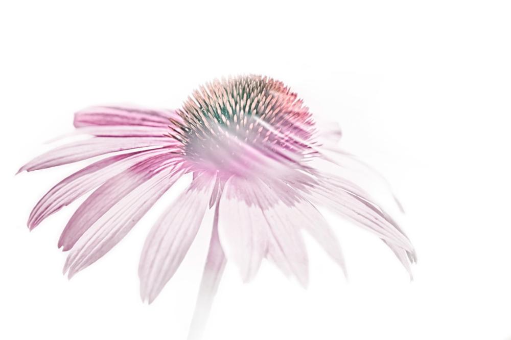 Echinacea, der lila-farbene Sonnenhut: Eine schöne Pflanze mit noch schöneren Effekten