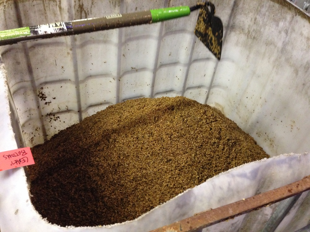 The spent grain is saved for cows at a local farm.