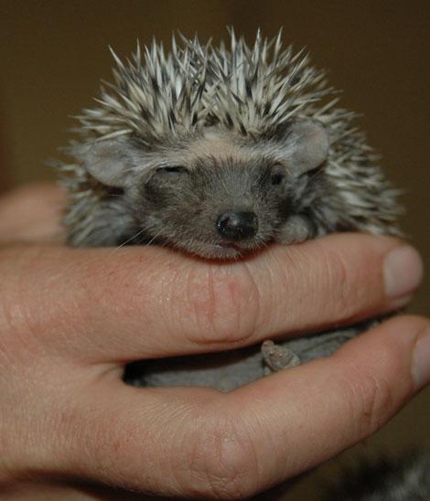 tikki-hywood-hedgehog-legislation.jpg