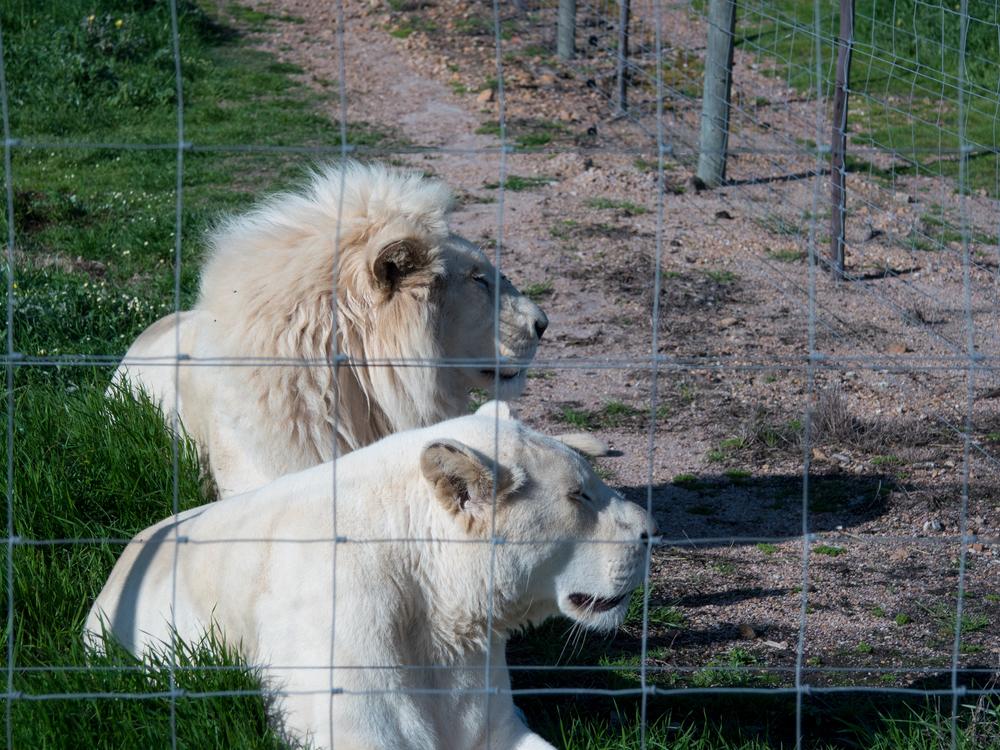 WHT LIONS-1020737.jpg