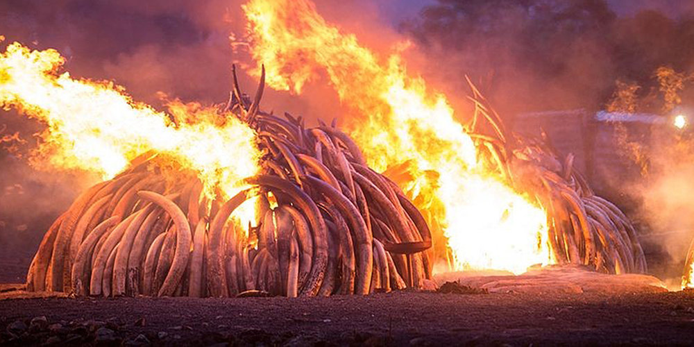 Ivory & Rhino Horn burn in Kenya 2016.
