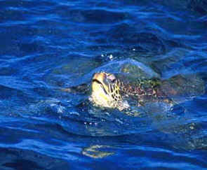 Sea Turtle off Maui, Hawaii