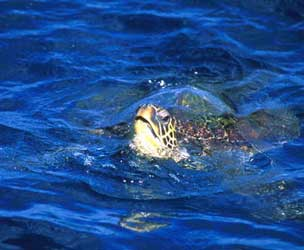 Hawaiian sea turtle Maui