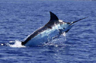 Hawaii fishing charter on Humdinger