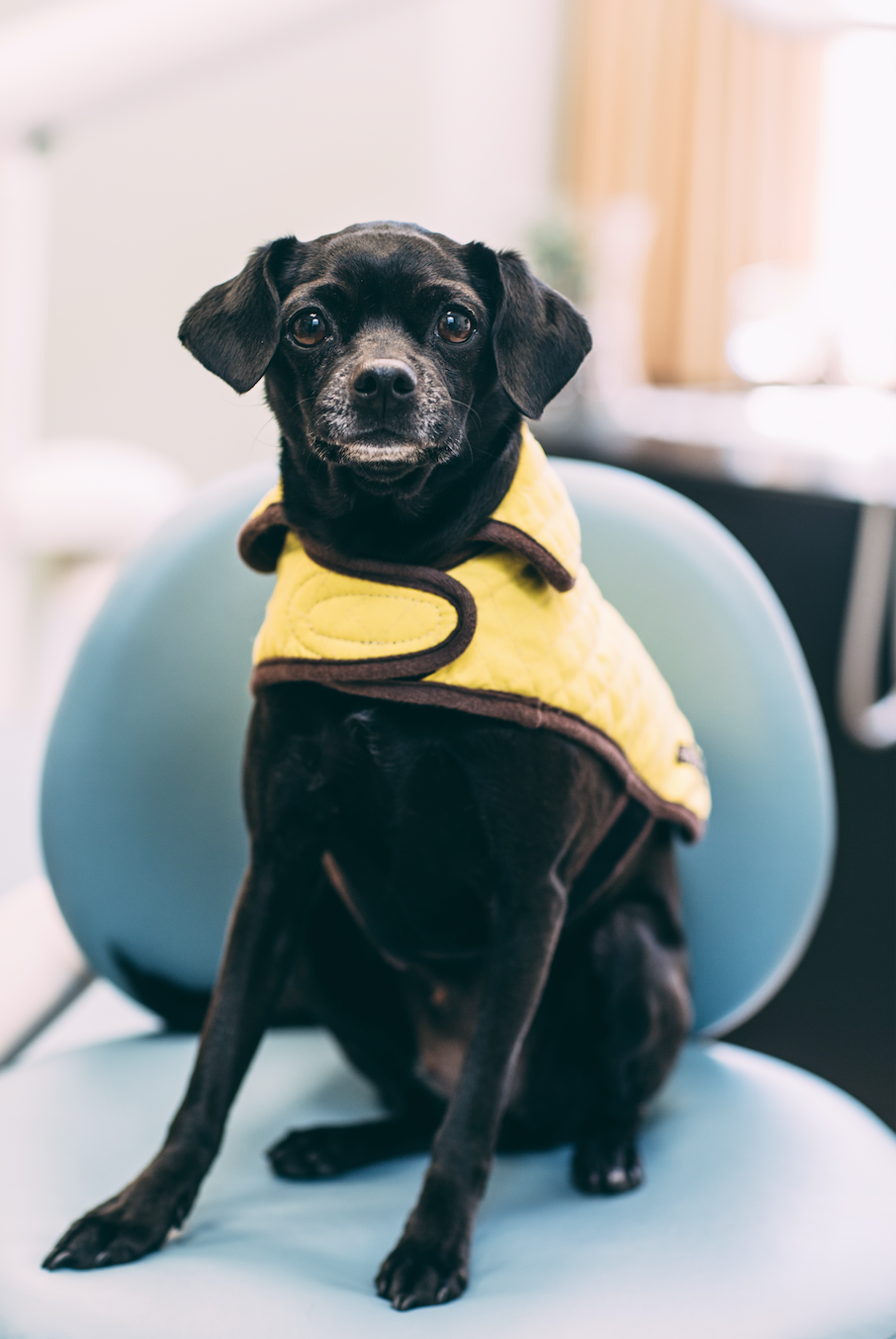 Pola - Canine Assistant/ Therapy DogPola is a sweet rescue dog (part pug, part chihuahua or