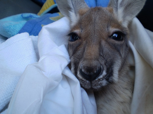 An all too common orphaned joey, movement spotted in mum's pouch when driving past on a remote dirt track, little fella taken to a wildlife carer in Nullagine.