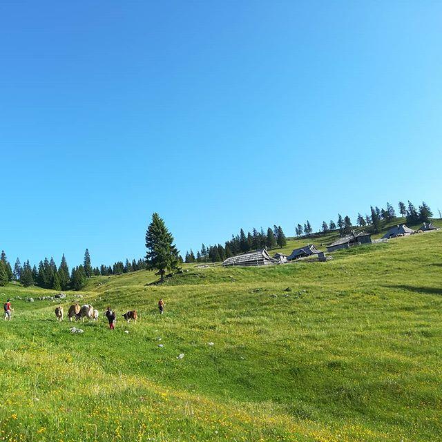 Otvoritev poletnih rezidenc za krave na planini🐮🌿 #gojskaplanina #kravesmognal #pasejedost #pomojesosrecne