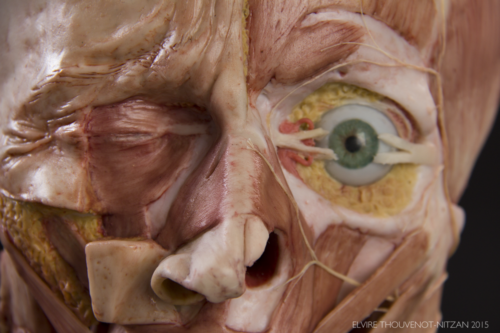 Elvire Thouvenot Anatomical Facial Sculpture 3 copy.png