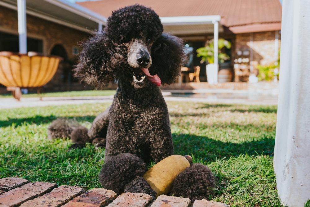Poodles-47.jpg