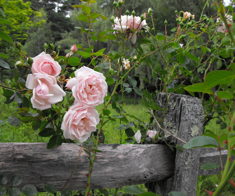 Roses and Rambling Fence.JPG